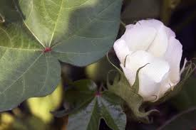 An Arizona cotton plant. Photo from tucsonsentinel.com.